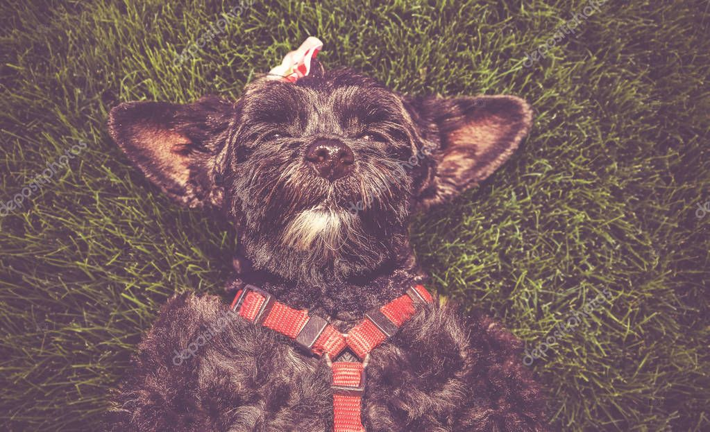 cute terrier laying in the grass during summer toned with a retro vintage instagram filter