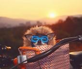 Fényképek aranyos chihuahua ül egy kerékpár kosár napkeltekor, egy kapucnis pulcsit és szemüveg