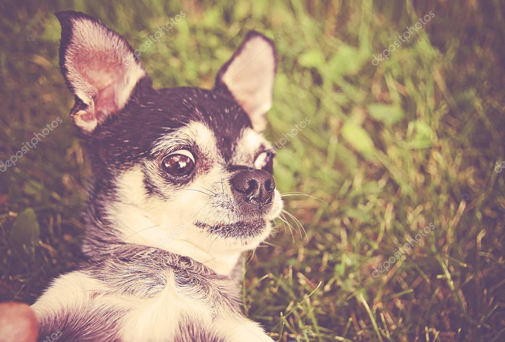 cute chihuahua in the grass looking off to the side toned with a retro vintage instagram filter