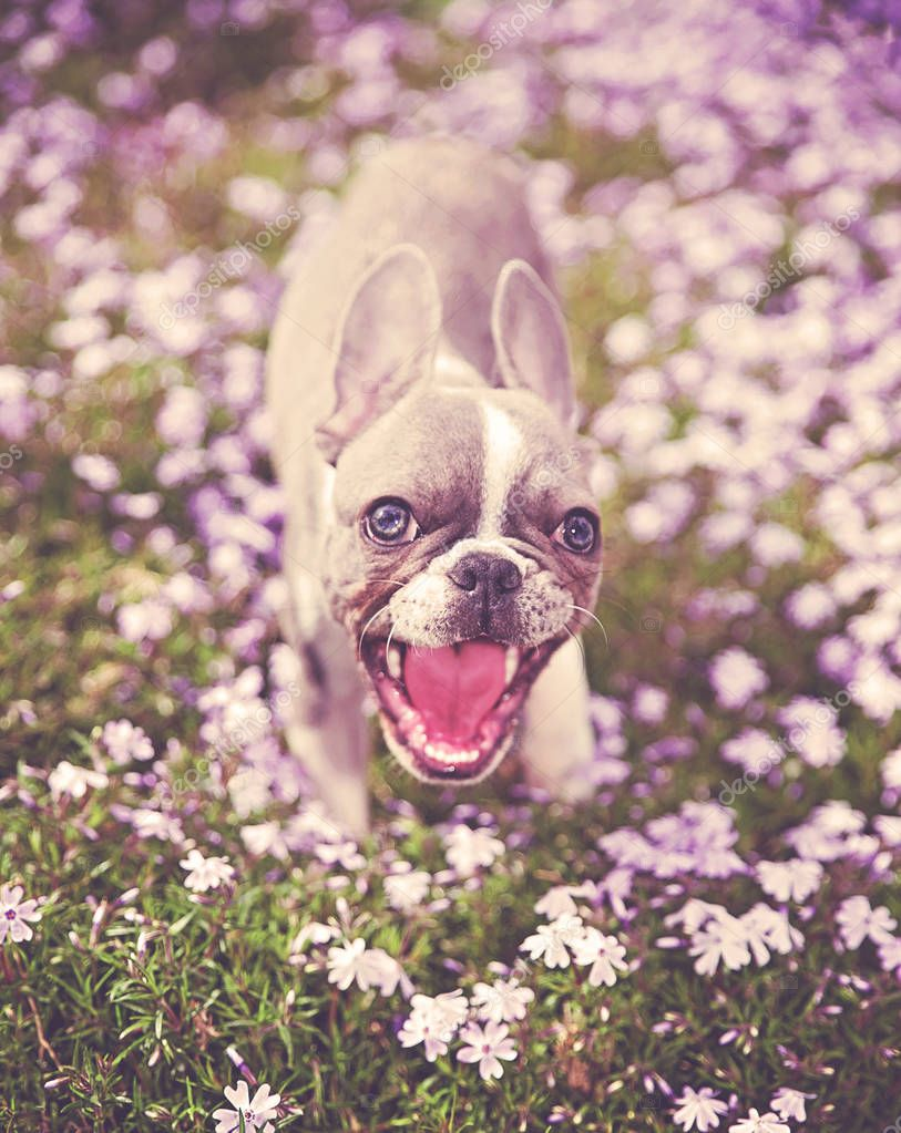 cute french bulldog puppy sitting in purple flowers toned with a retro vintage instagram filter