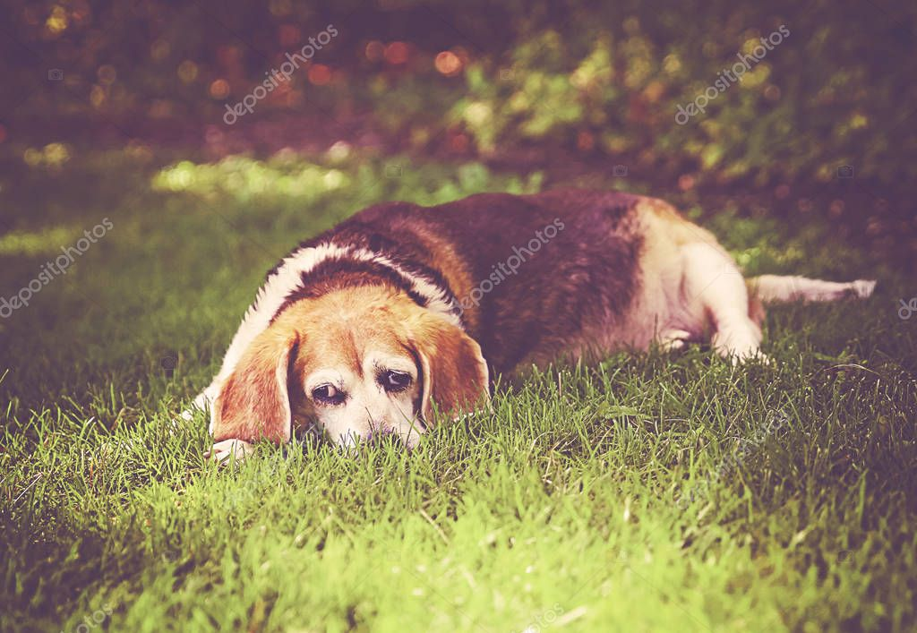 a cute senior beagle looking off in the distance in a park or backyard on fresh green lawn toned with a retro vintage instagram filter