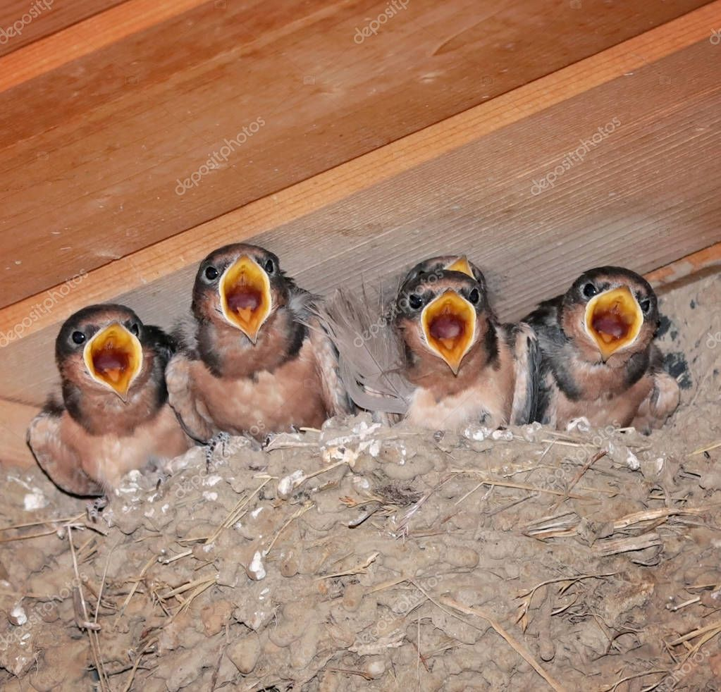 full nest of barn swallow fledglings waiting for food from a parent