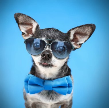 cute chihuahua with a bow tie and sunglasses isolated on a blue background