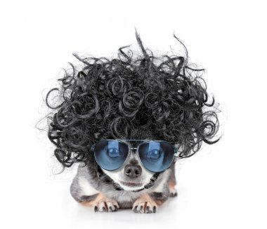 cute chihuahua with a curly wig and sunglasses on an isolated white background