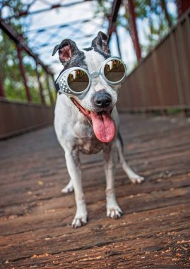 cute american staffordshire terrier on a bridge wearing goggles and panting