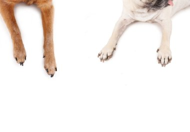 top view of a pug and chihuahua sprawled out on an isolated white background