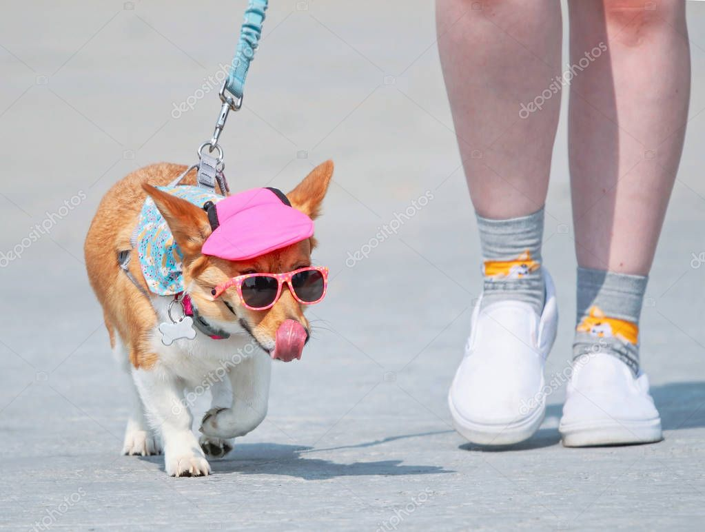 cute corgi wearing sunglasses and a pink hat on a hot summer day walking with her owner on a leash