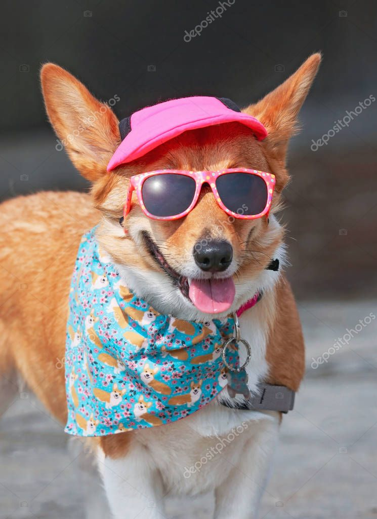 cute corgi wearing sunglasses and a pink hat on a hot summer day