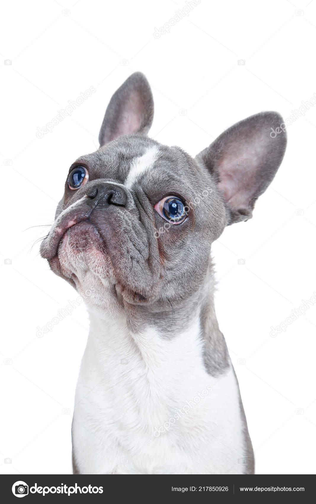 Cute French Bulldog Puppy Funny Face Isolated White Background Stock Photo C Graphicphoto 217850926