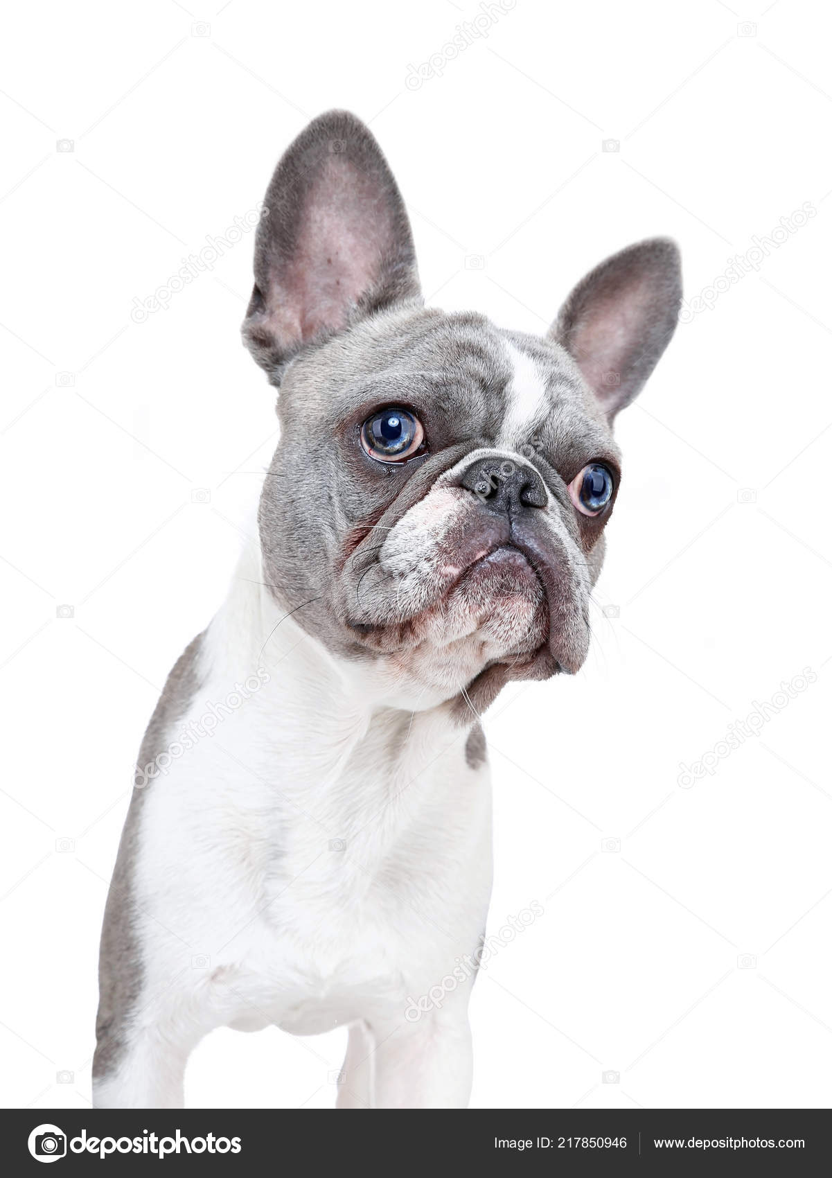 Pictures Google Puppy Cute French Bulldog Puppy Funny Face Isolated White Background Stock Photo C Graphicphoto 217850946