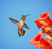 Photo cute rufous of calliope hummingbird flying in front of a trumpet vine drinking nectar on a hot summer day