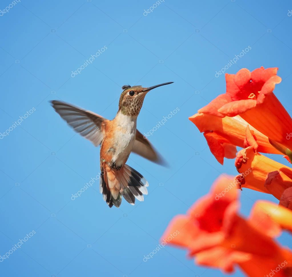 cute rufous of calliope hummingbird flying in front of a trumpet vine drinking nectar on a hot summer day