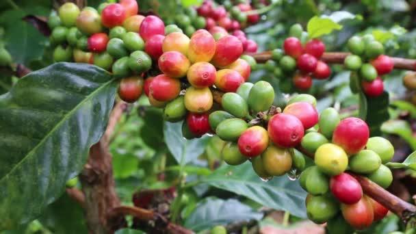 Colombian Coffee of mountain farm