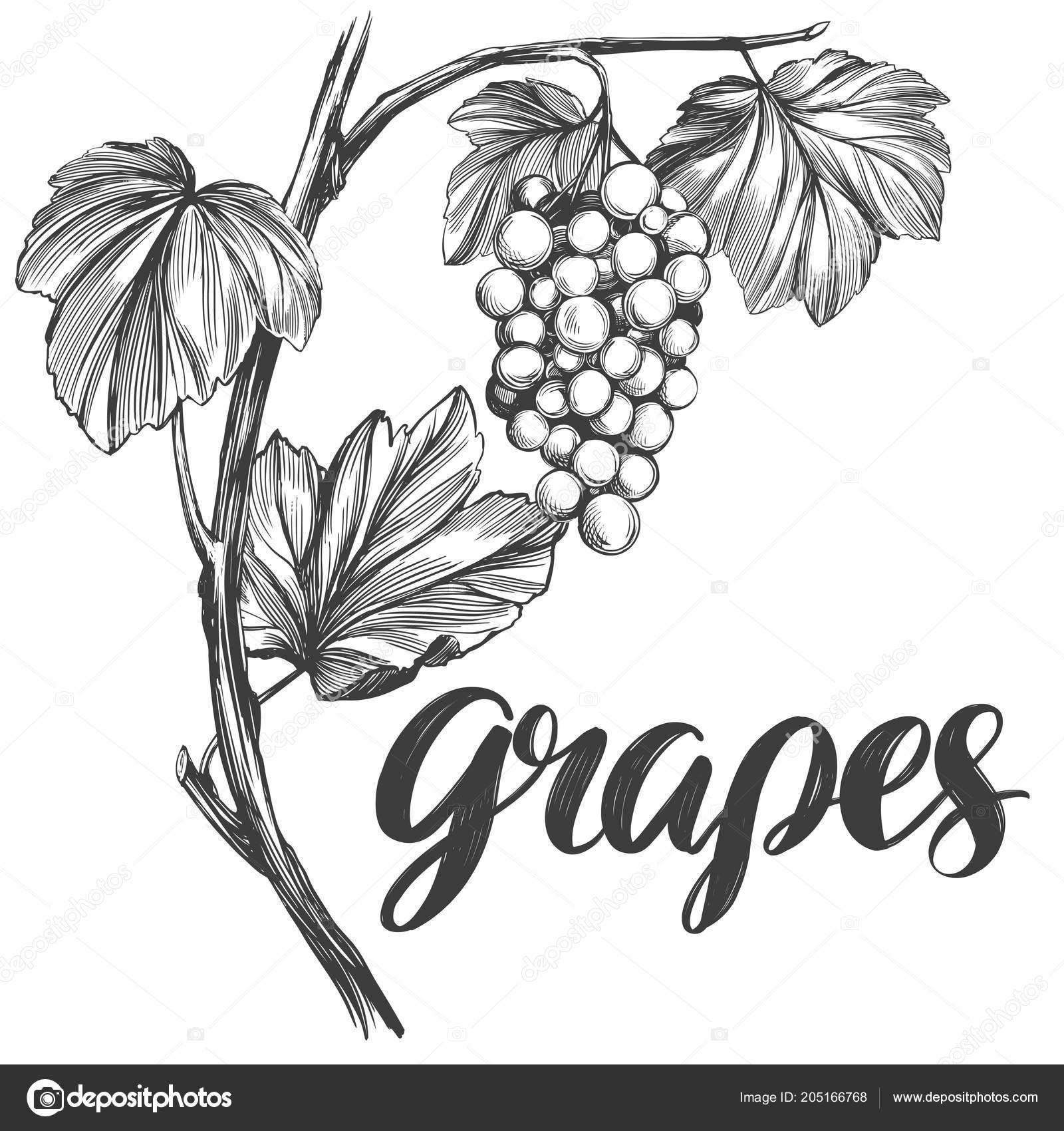 Vinna Reva Vitaceae Kaligrafie Text Rucne Kreslenou Vektorove
