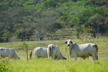 Few head of cattle in a green fresh pasture