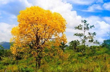 Beautiful lignum vitae tree flowering in the countryside of Pana