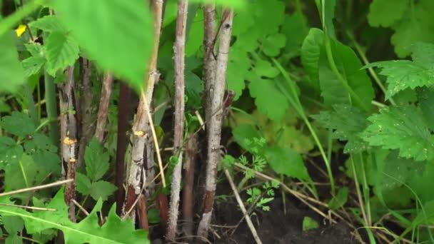 zahradník řezání suché malinový keře