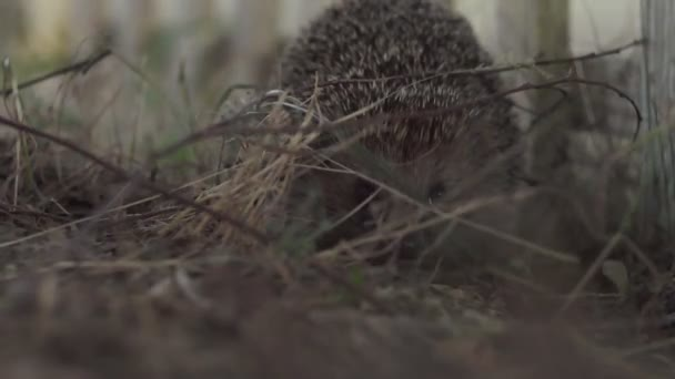 small prickly hedgehog of evening time