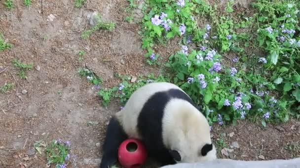 Panda at the Beijing Zoo in China