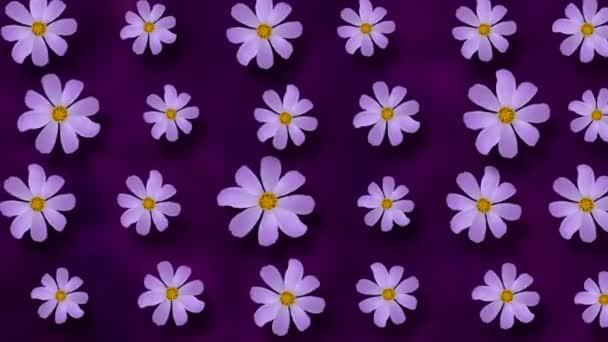 Květinový vzor Cosmos květin na fialovém pozadí. 4k video