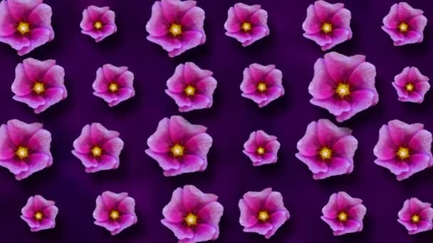 Floral pattern of malva flowers on purple background. 4k video.