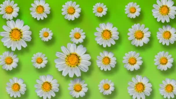 Floral pattern of white chamomile flowers on green background. 4k video.