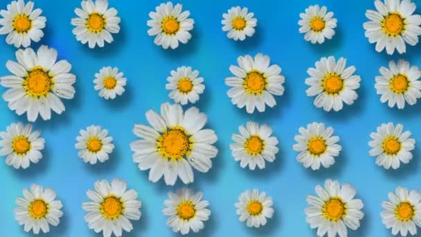 Floral pattern of white chamomile flowers on blue background. 4k video.