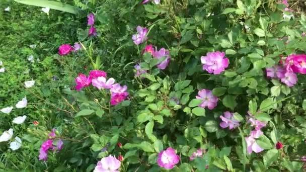 Růžový psí růže bush smíchány s ostatními druhy divokých květů