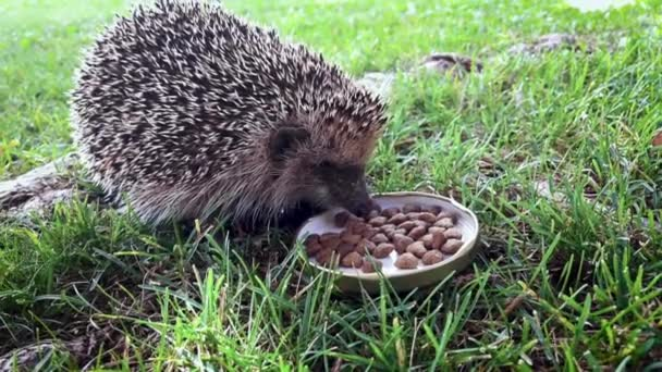 Hungry hedgehog eating cat food from a bowl in the back yard.