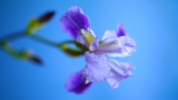 beautiful violet iris flower