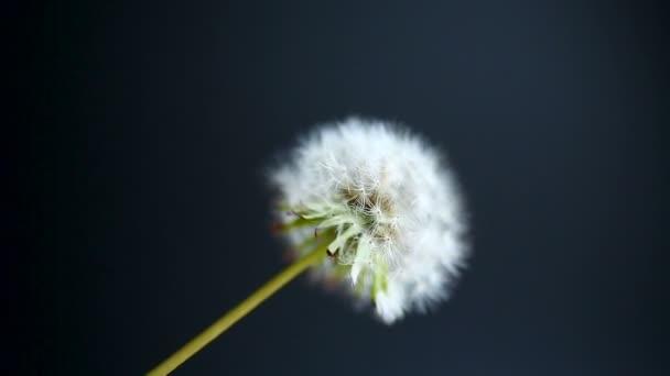 Pampeliška květ se pohybuje od větru