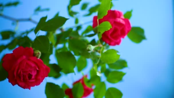krásné červené kvetoucí růže na modrém pozadí