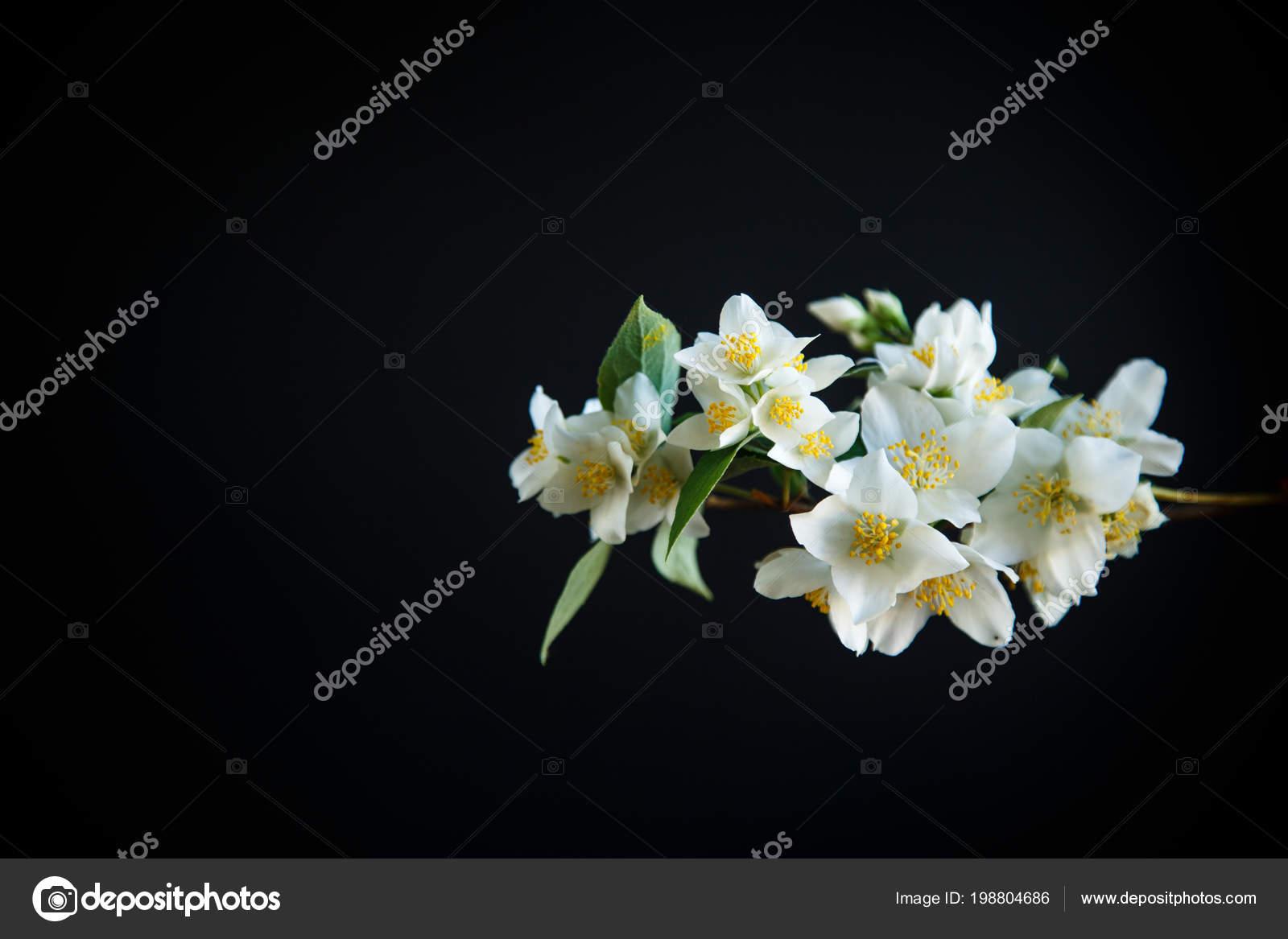 Blossoming Jasmine Flowers Black Background Stock Photo Rawlik