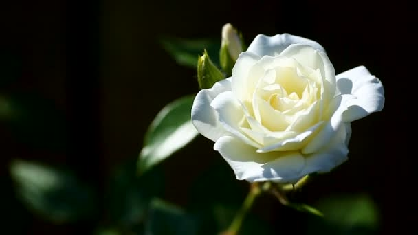 gyönyörű fehér virágzó rózsák