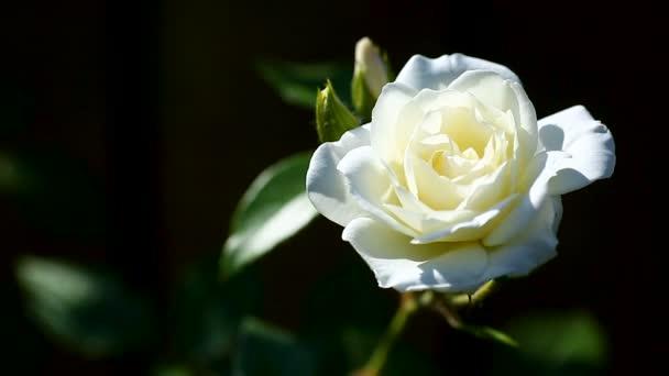 beautiful white blooming roses
