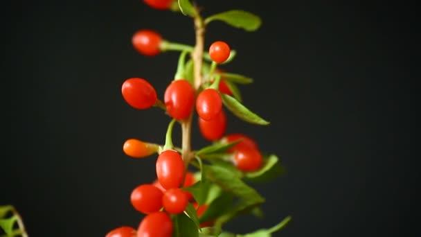 rote reife Goji-Beere auf einem Zweig isoliert auf einem schwarzen