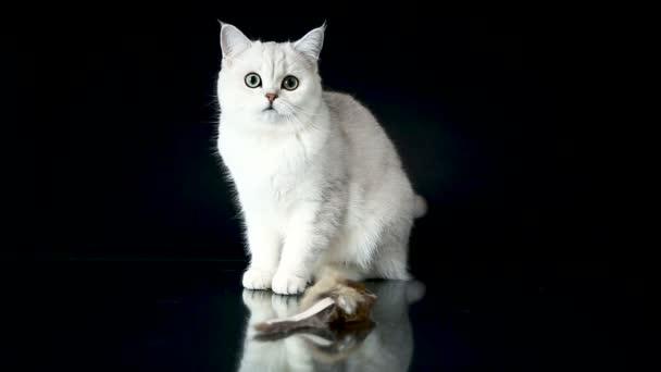 gyönyörű fiatal macska tenyészt skót csincsilla egyenes