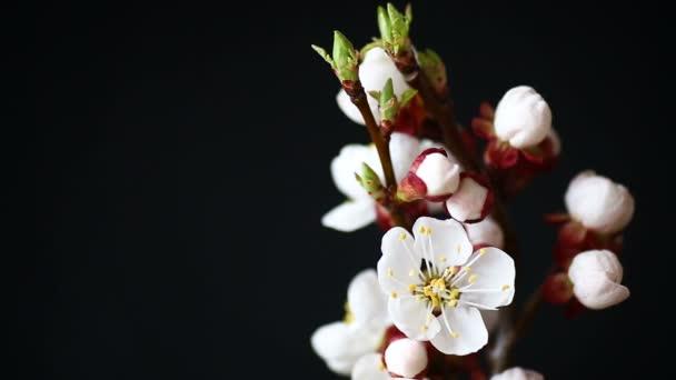 větev s meruňkovým květy na tmavém pozadí