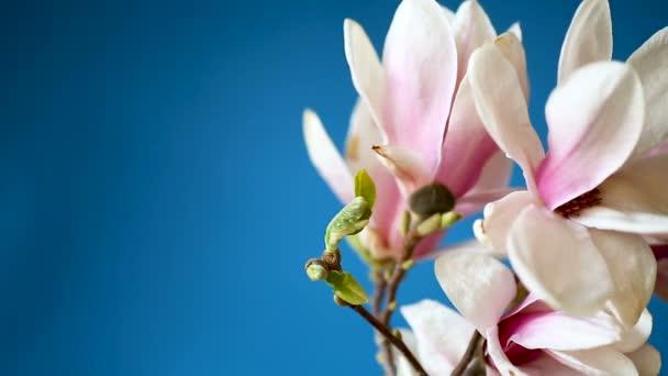 Jarní nádherný kvetoucí šácholan na modrém