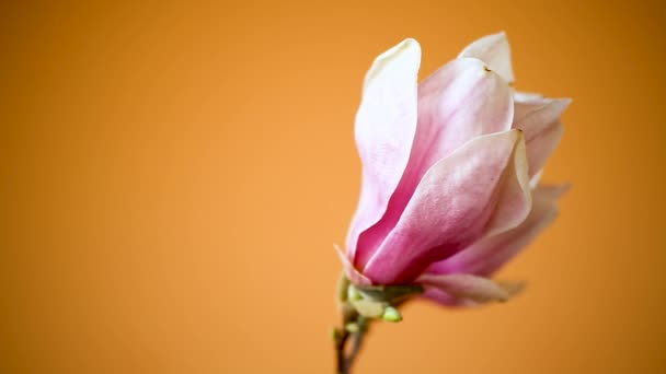 spring beautiful blooming magnolia on a orange