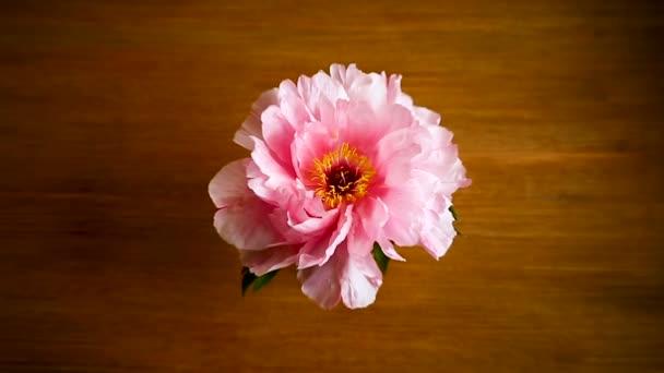 Květinka růžová Peony, Paeonia suffruticosa, izolovaná na dřevěném
