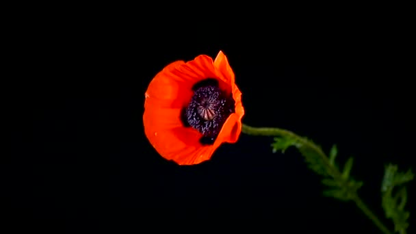 beautiful red blooming poppy flower isolated on black