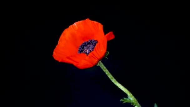 krásná červená kvetoucí makatá květina izolovaná na černém