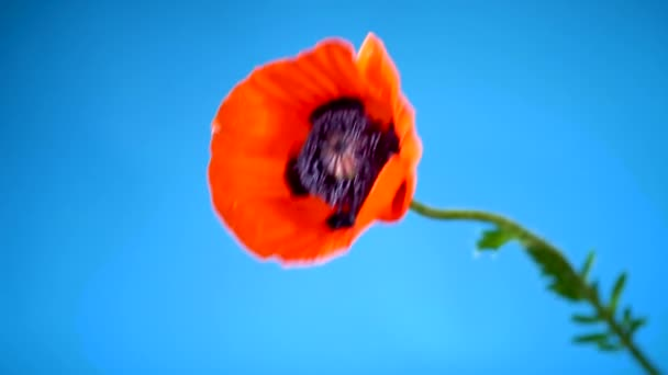 krásná červená kvetoucí makatá květina izolovaná na modrém
