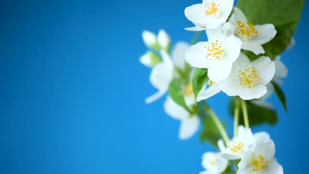 beautiful white jasmine flowers on a branch isolated on blue