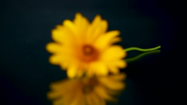 yellow summer blooming daisy flower isolated on black