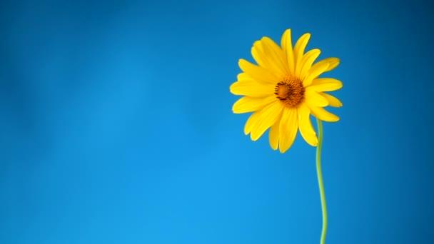 Žluté léto kvetoucí květinová rostlina izolovaná na modrém
