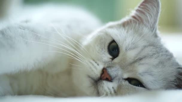 krásná mladá kočka plemene skotský Činčila rovné
