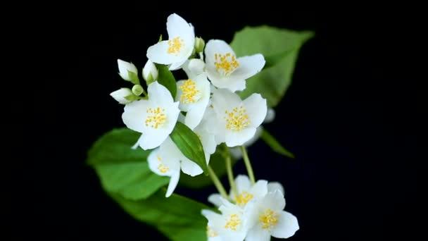 nádherné bílé jasmíní květy na větvi izolované na černém