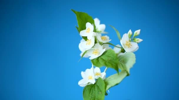 nádherné bílé jasmíní květy na větvi izolované na modrém